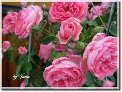 An den Beitrag angehängtes Bild: http://jutta-helmut.beepworld.de/files/Rosen/rose-uetersen.jpg
